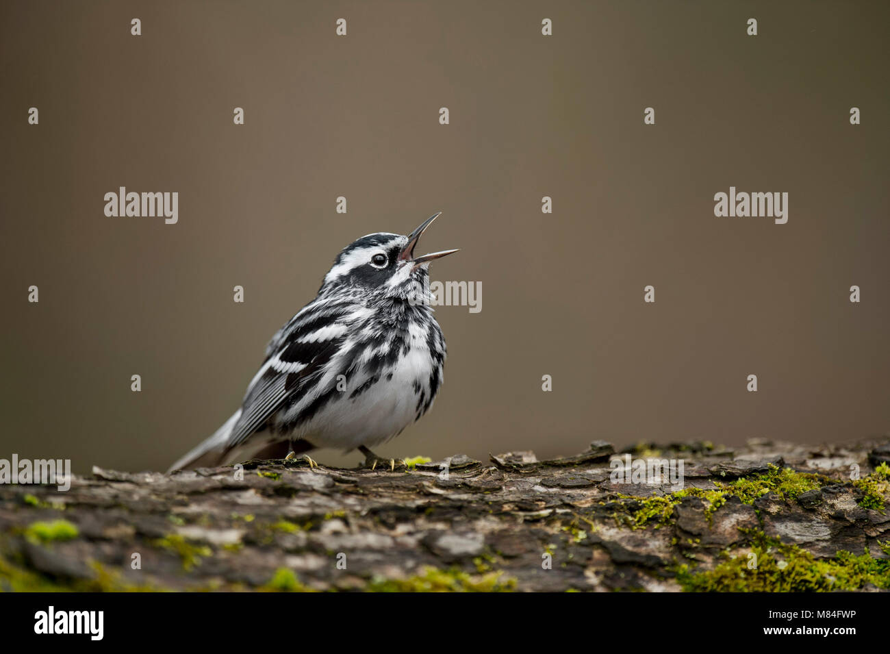 A striking Black and White Warbler perches on a tree trunk singing loudly in the soft overcast light. - Stock Image