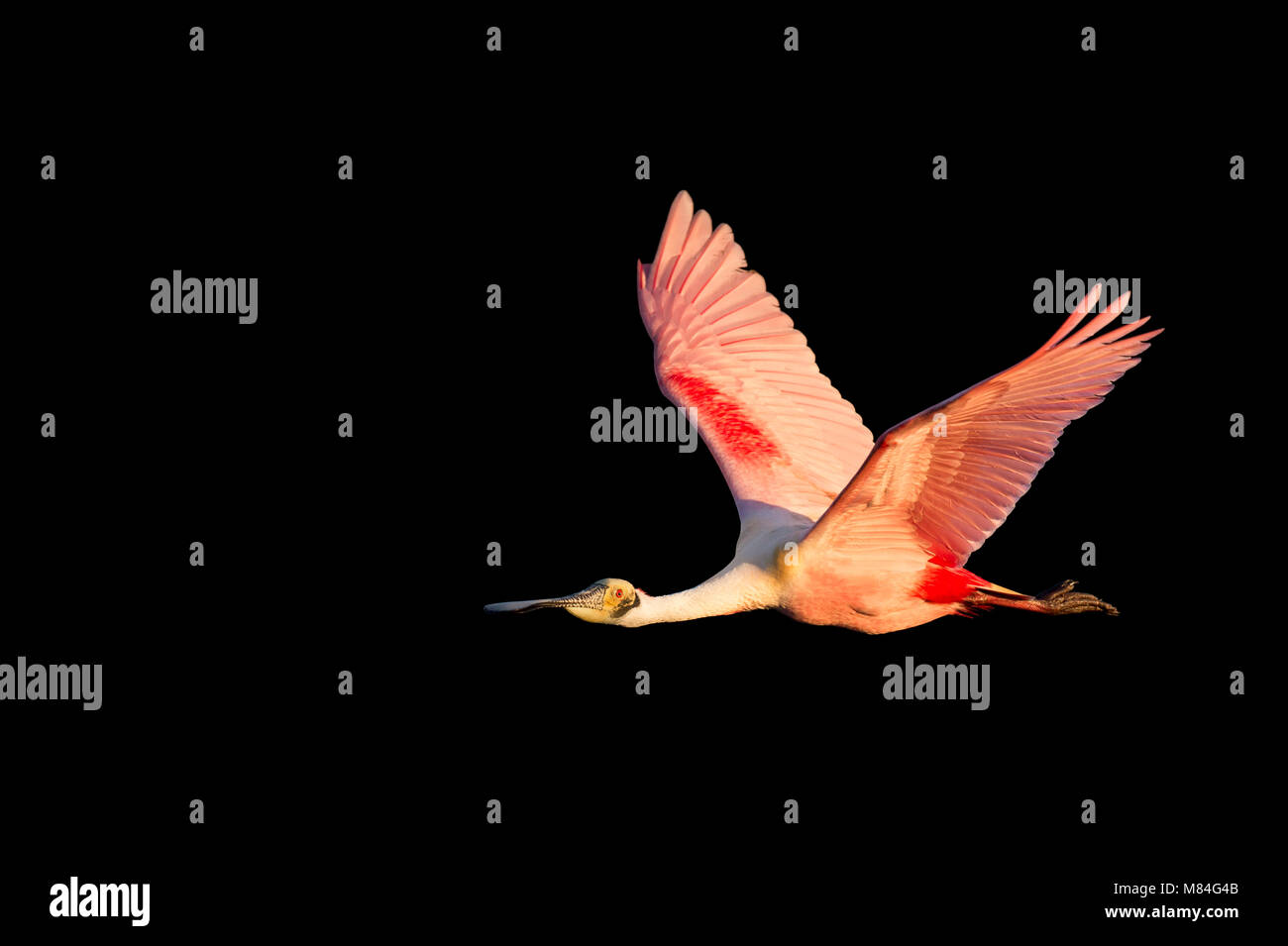 An adult Roseate Spoonbill flies in front of a solid black background in early morning sun with its bright pink Stock Photo