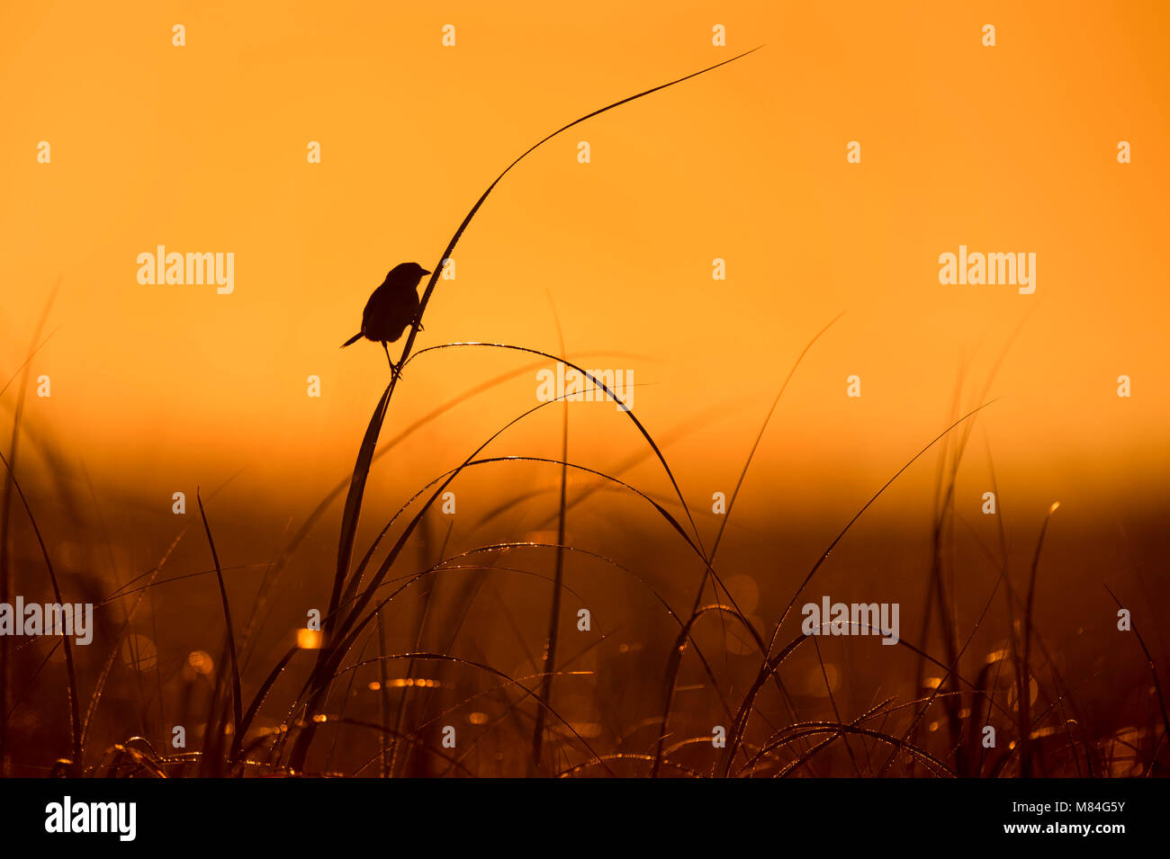 A Seaside Sparrow perches on high marsh grass silhouetted against the orange morning sky. Stock Photo