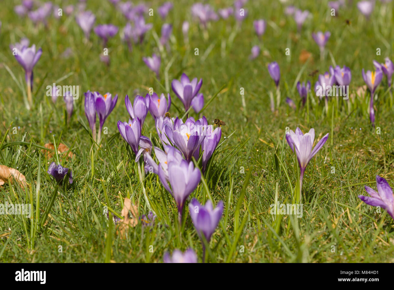 A mass of purple dutch crocus flowers blooming in early spring latin a mass of purple dutch crocus flowers blooming in early spring latin name crocus vernus mightylinksfo