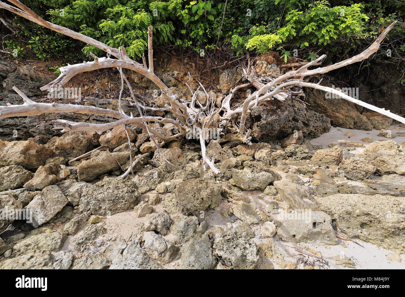 Bunch of dead dry tree branches among coralline rocks left aside on the sand in the shade of the luxuriant coastal - Stock Image
