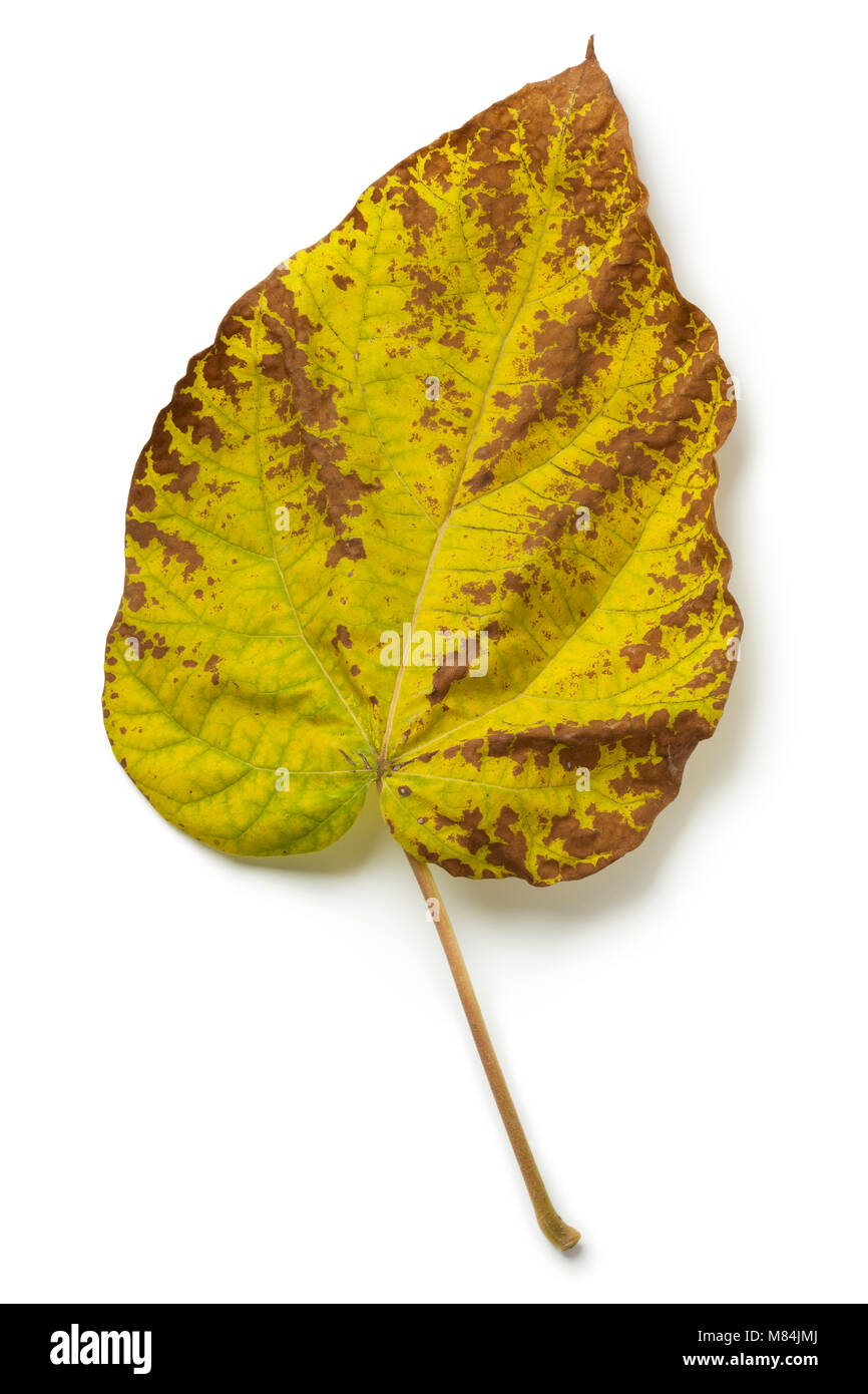 Autumn leaf of a  largeleaf linden tree on white background Stock Photo