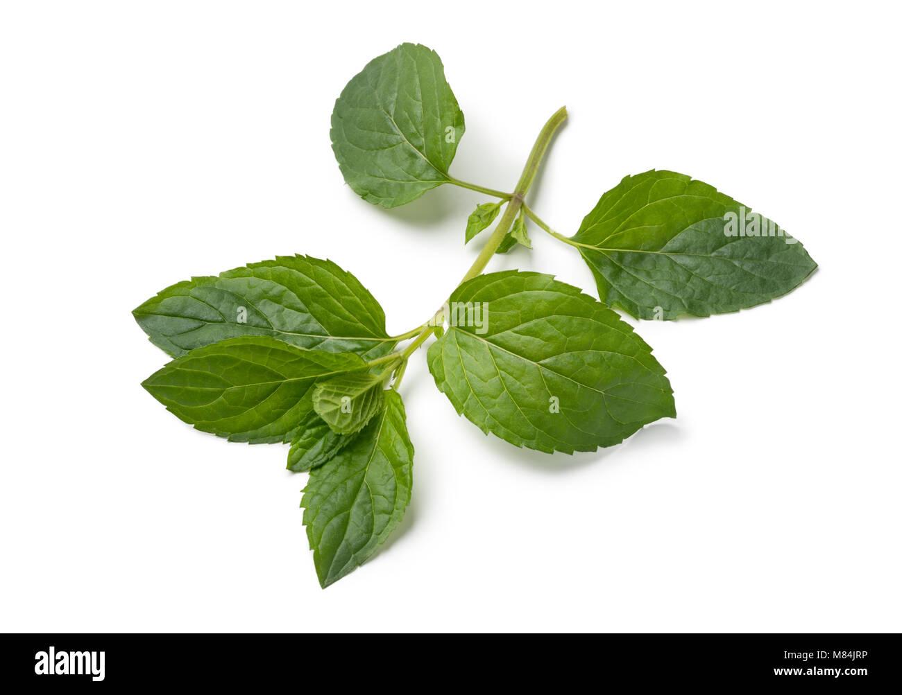 Twig of fresh green chocolat mint isolated on white background - Stock Image