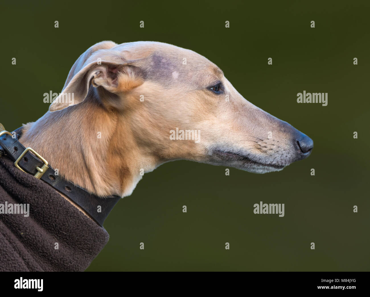 Closeup side view of the head of a Whippet dog. - Stock Image