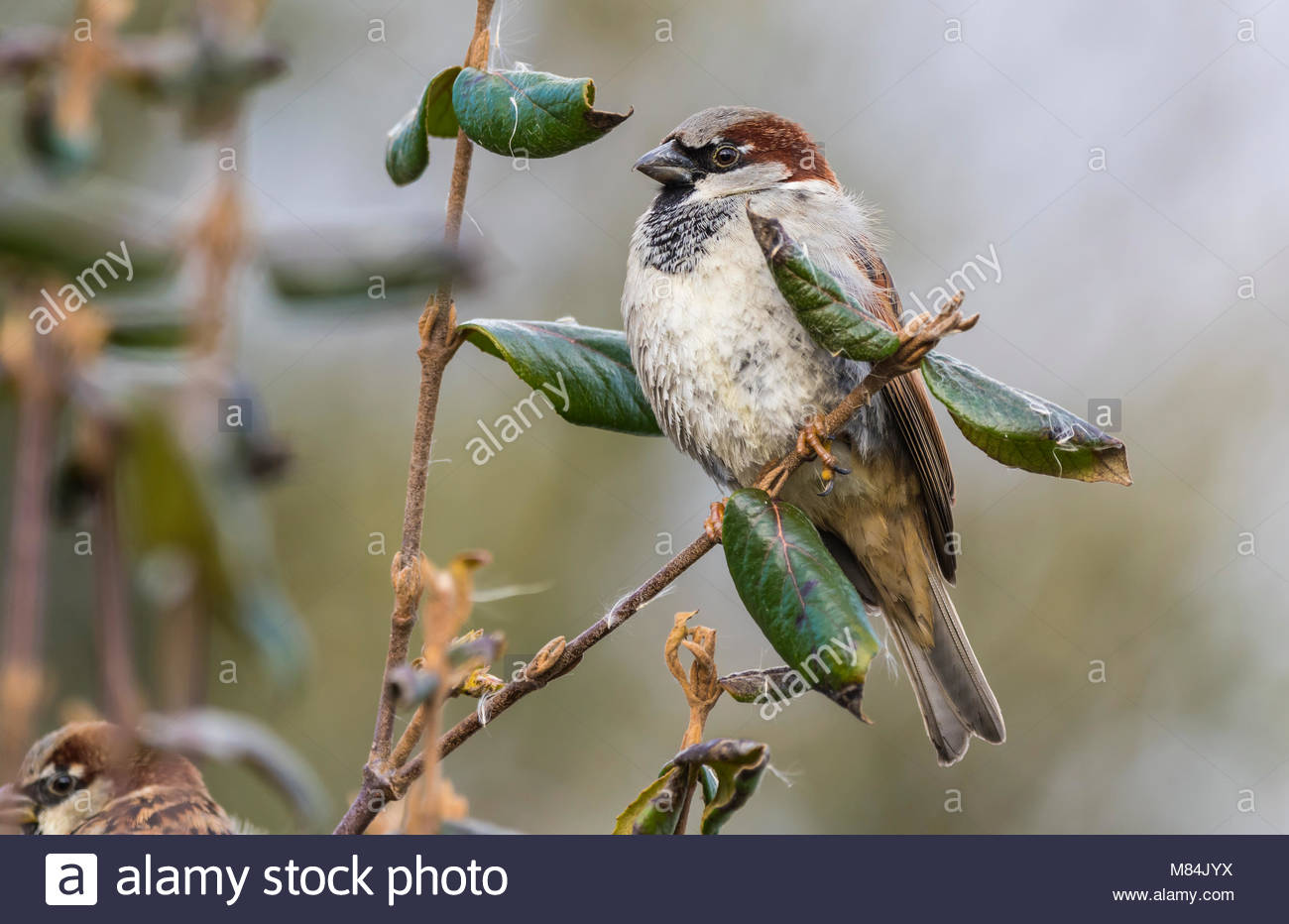 Adult Male House Sparrow (Passer domesticus) perched on a twig in Winter in England, UK. Stock Photo