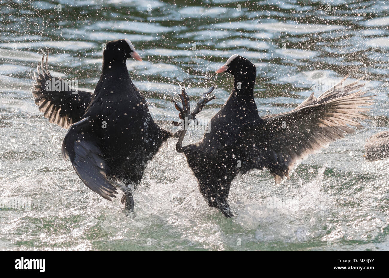 Pair of Eurasian Coots (Fulica atra) in water being aggressive in a lake in the UK. Stock Photo