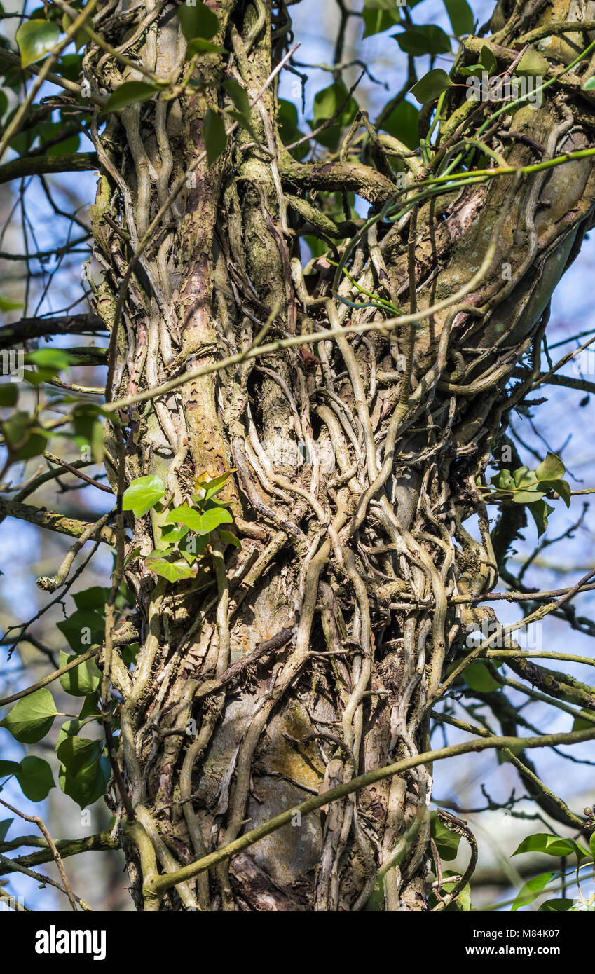 Ivy roots winding around and climbing up a tree trunk, nearly completely covering it in Winter in the UK. Stock Photo