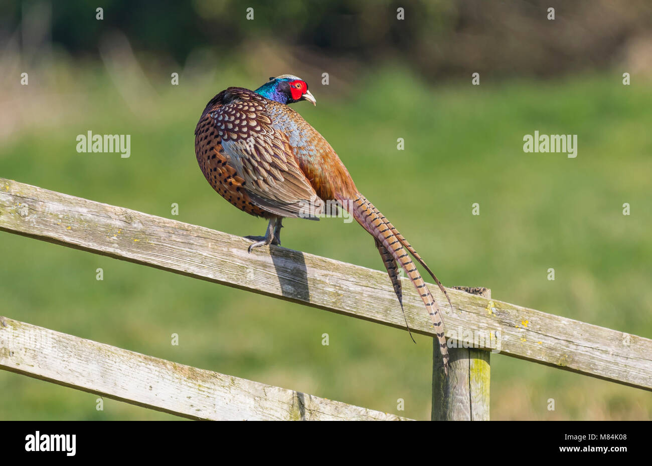 Adult male Pheasant (Phasianus colchicus) standing on a fence in Winter in West Sussex, England, UK. - Stock Image