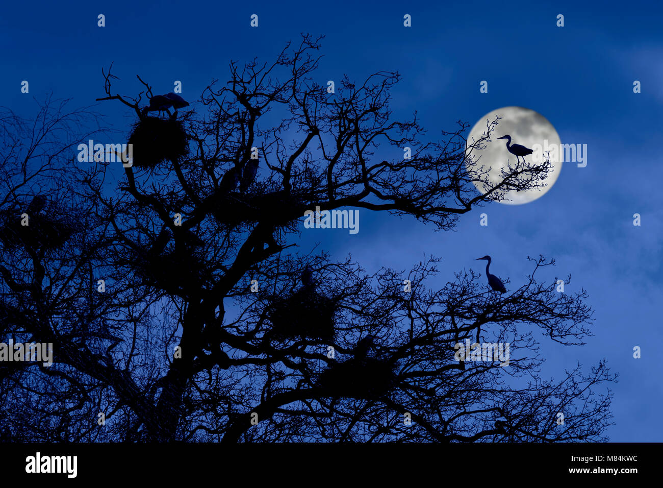 Grey herons (Ardea cinerea) breeding on nests in tree at heronry / heron rookery silhouetted at night with full - Stock Image
