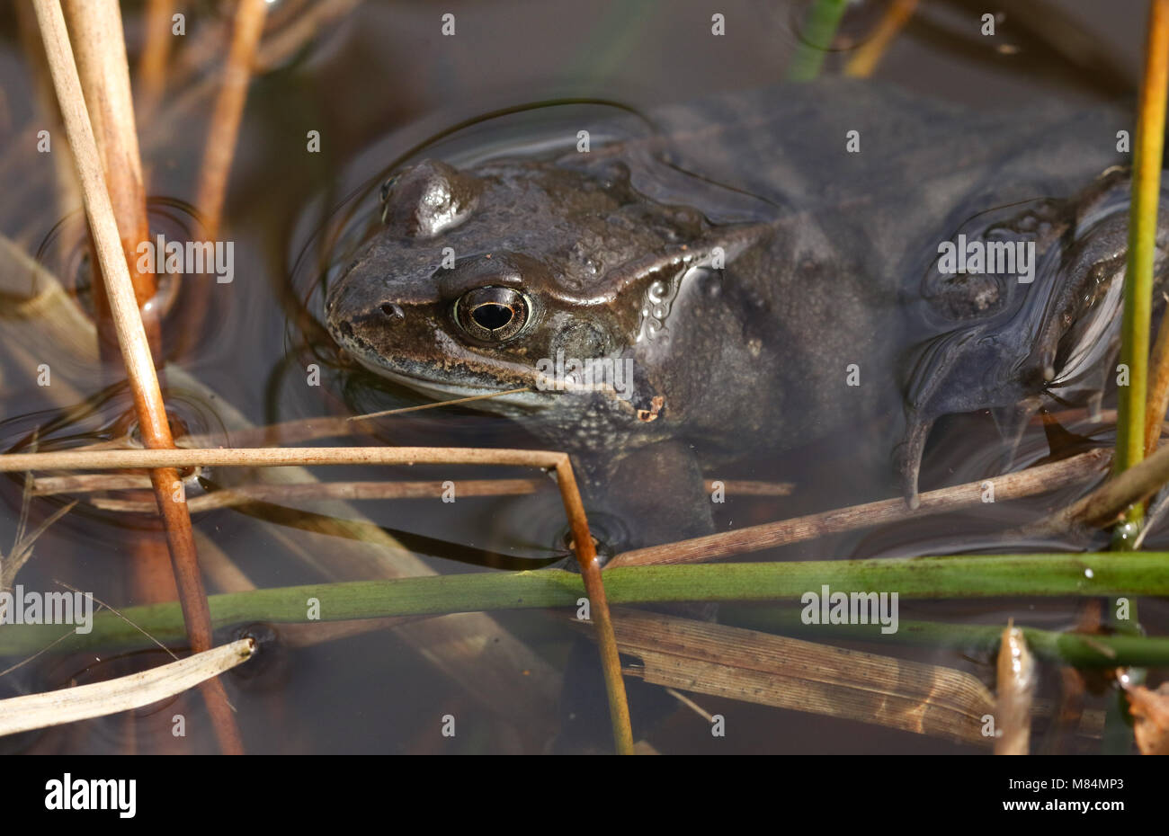 A Common Frog (Rana temporaria) just out of hibernation in spring waiting in the reeds at the edge of a pond for - Stock Image