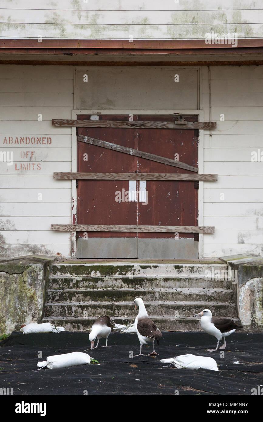 Black cloth spread on ground to prepare for lead abatement of Laysan Albatross nesting habitat around old marine - Stock Image