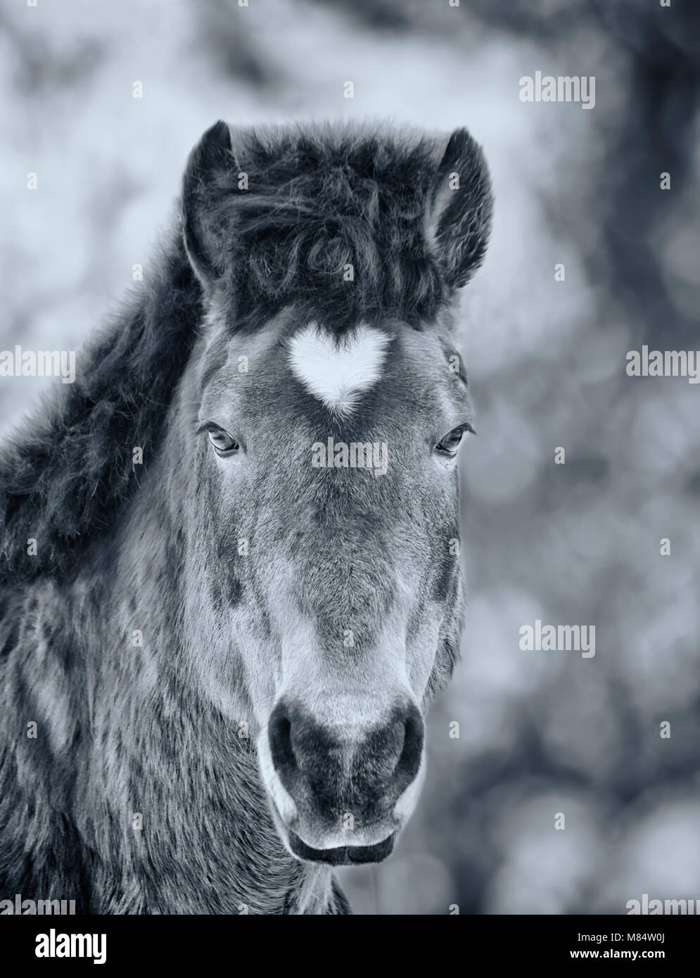 Arabian gelding with heart shaped star. Black and white photo - Stock Image