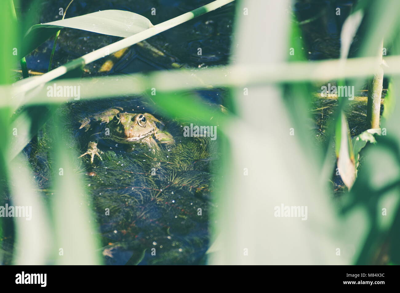 Green Frog in Marsh Water with Reeds Stock Photo