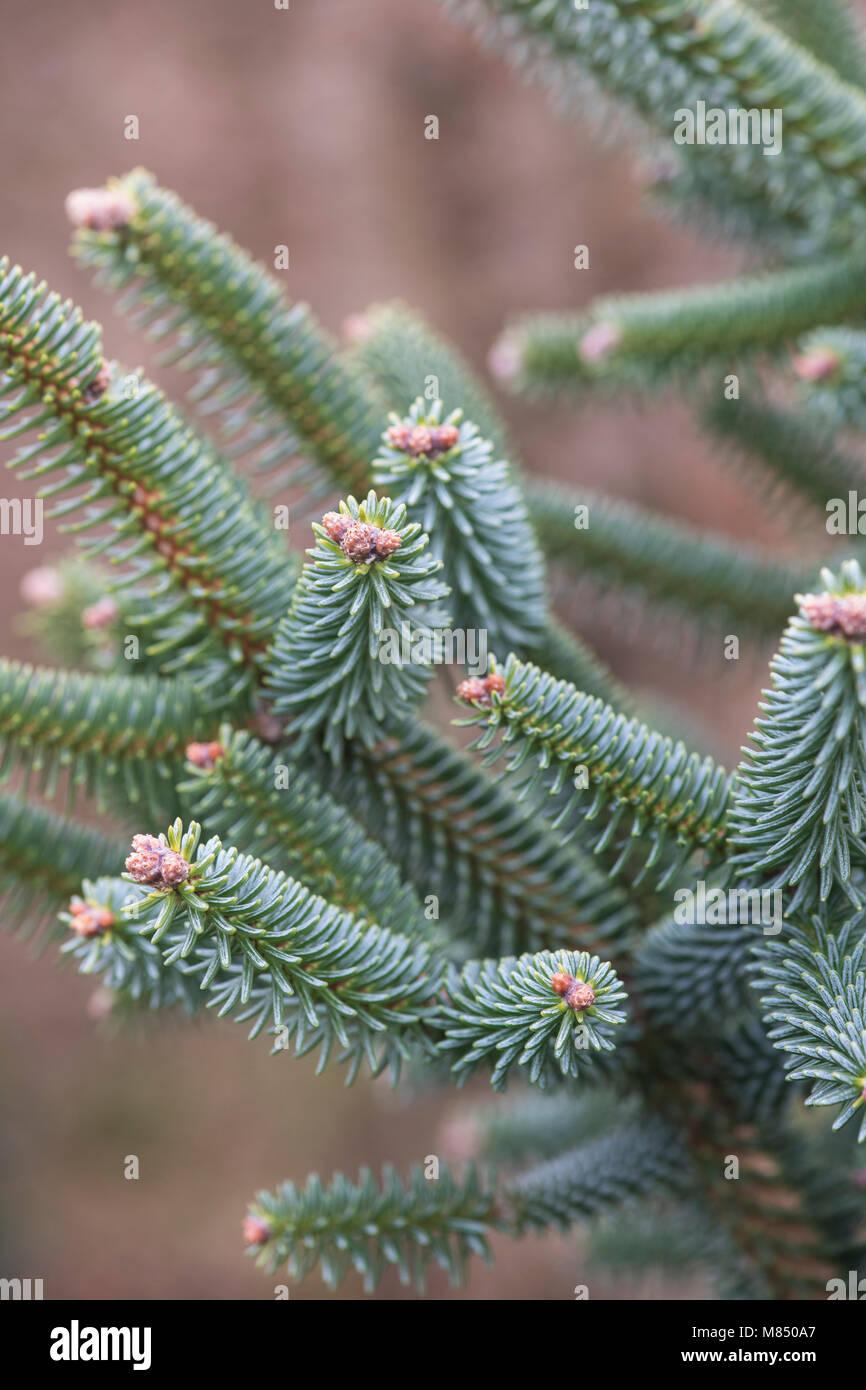 Abies pinsapo 'Aurea'. Golden Spanish fir. Stiff-needled branches detail. UK - Stock Image