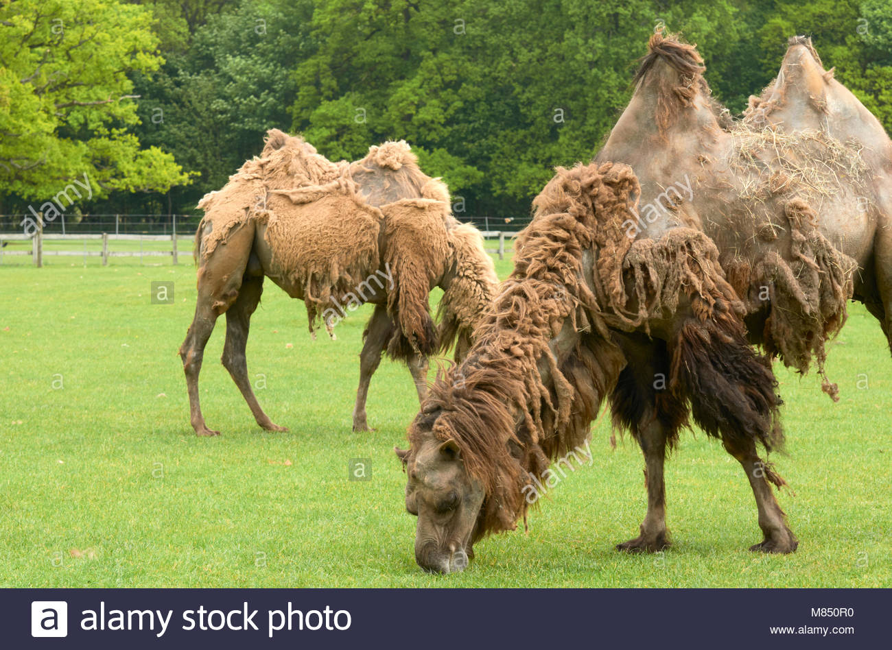 Bactrian camels camelus in the cotswold wildlife park england uk - Stock Image