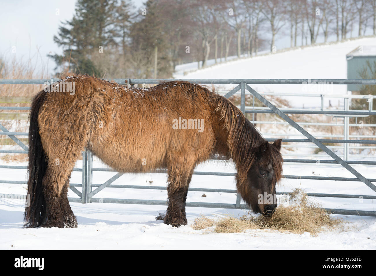 A Pony with Cushing's Disease Eating Hay on a Winter Morning - Stock Image