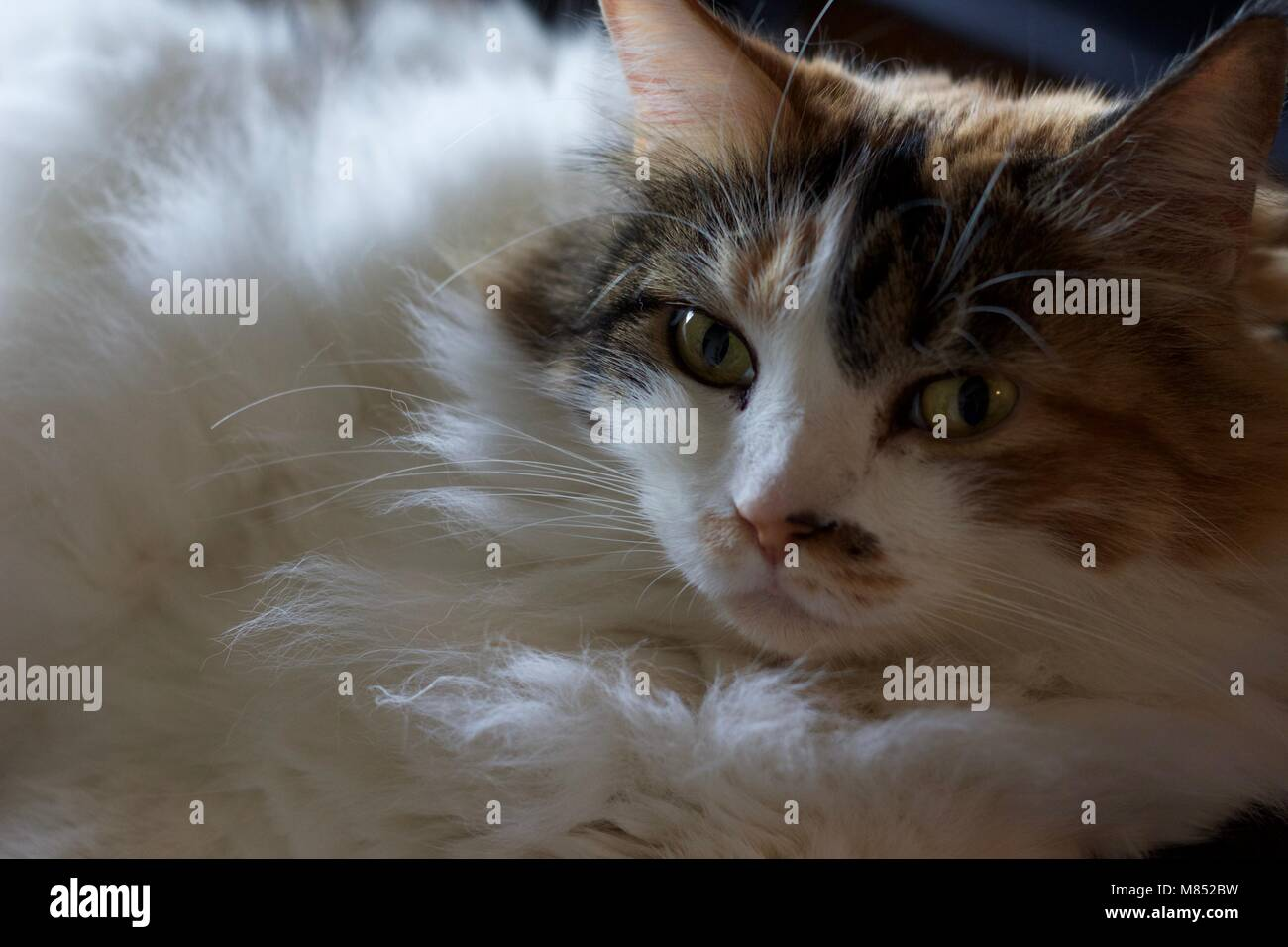 Fluffy cat lounging on sofa in living room. - Stock Image