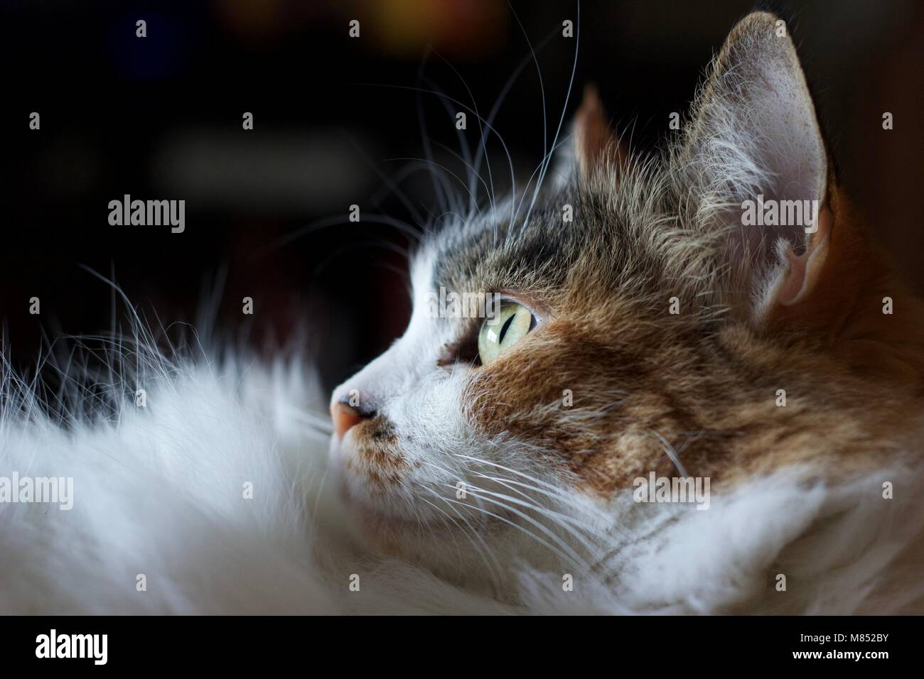Cat looking out window into the light. - Stock Image