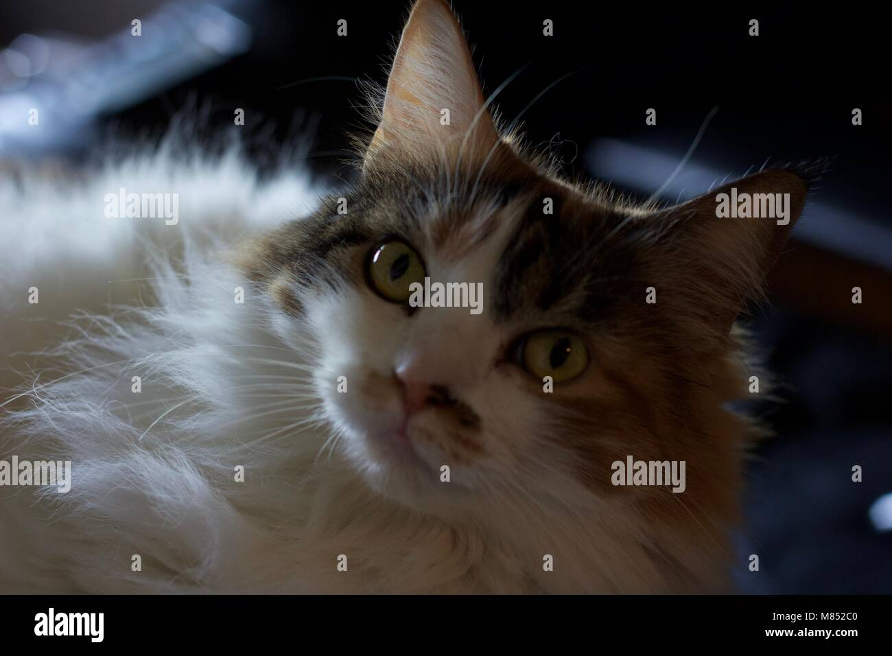 Surprised cat looking at something nearby - Stock Image