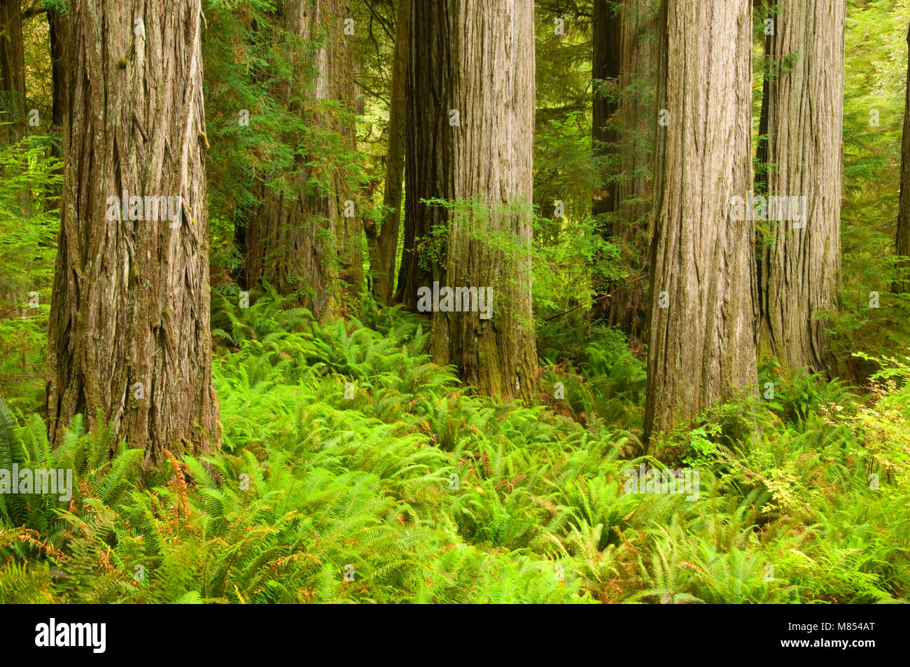 Coast redwood forest along Simpson-Reed Trail, Jedediah Smith Redwoods State Park, Redwood National Park, California - Stock Image