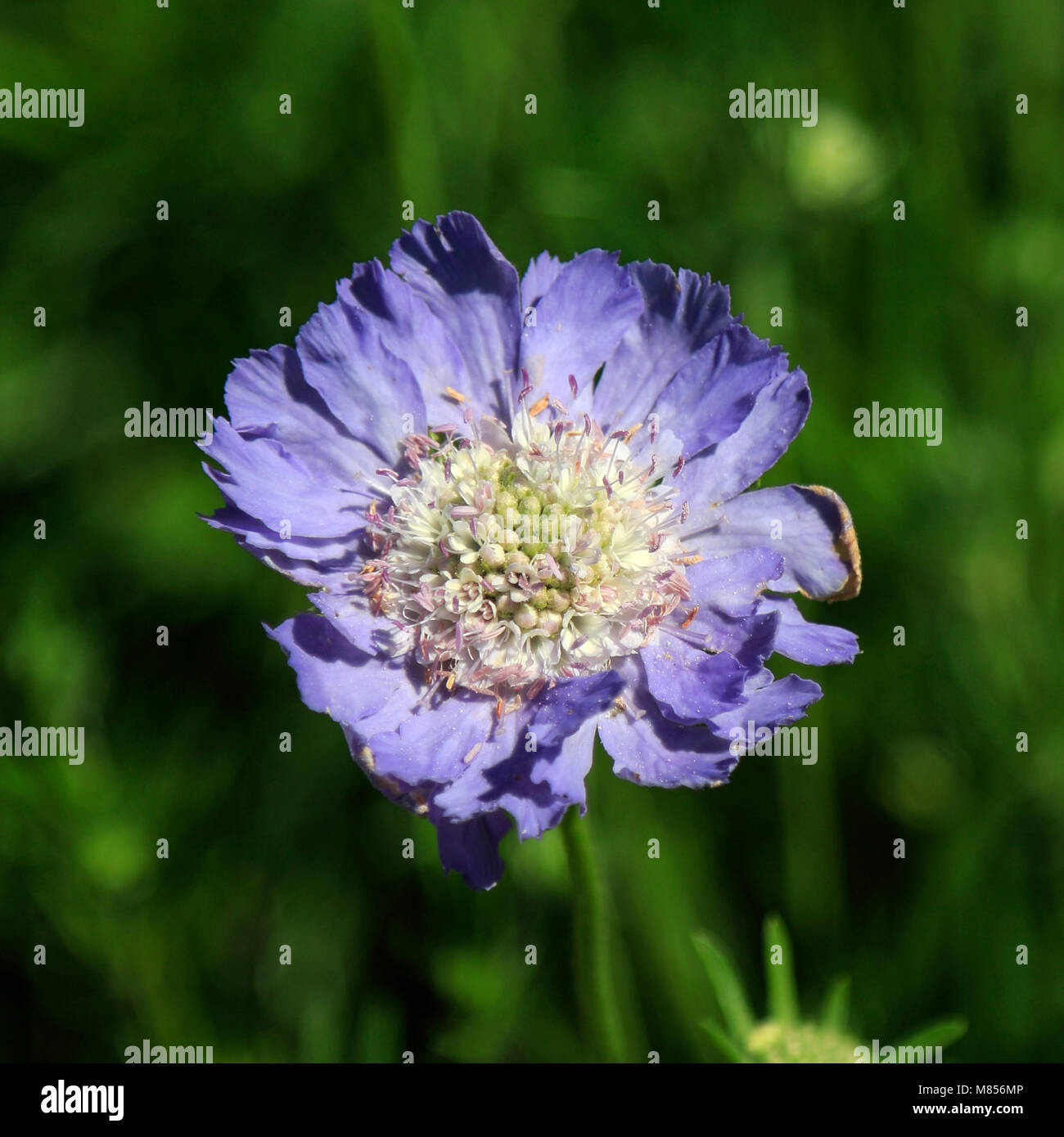 Scabiosa Caucasica Isaac House single flower with shallow depth of field - Stock Image