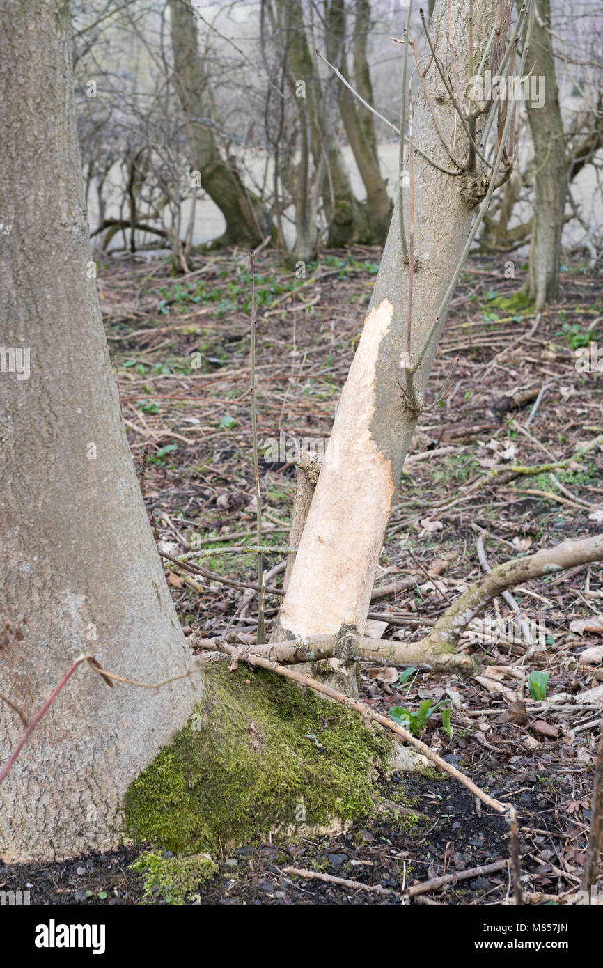 Pest, probably rabbit, damage to the bark of an ash tree, following severe winter weather, Northumberland, England, - Stock Image