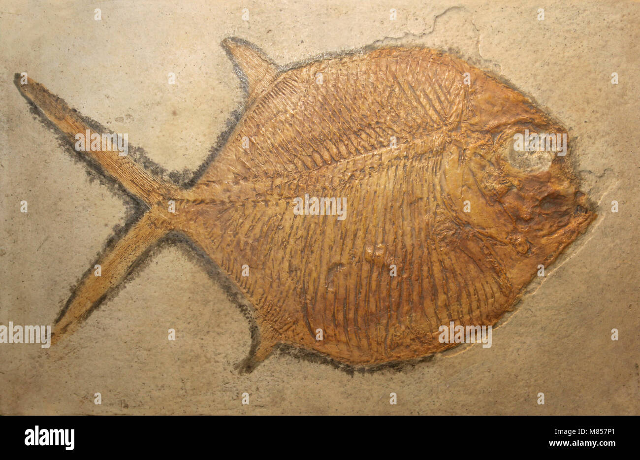 Fossil Fish Gyrodus frontatus - Lithographic Limestone, Upper Jurassic, Eichstadt, Bavaria - Stock Image