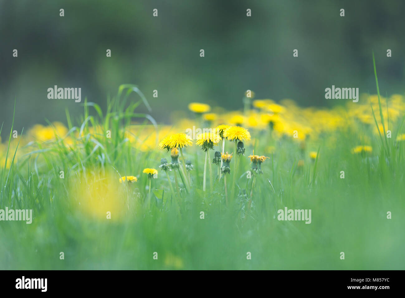 Spring meadow with yellow blooming dandelions - Stock Image