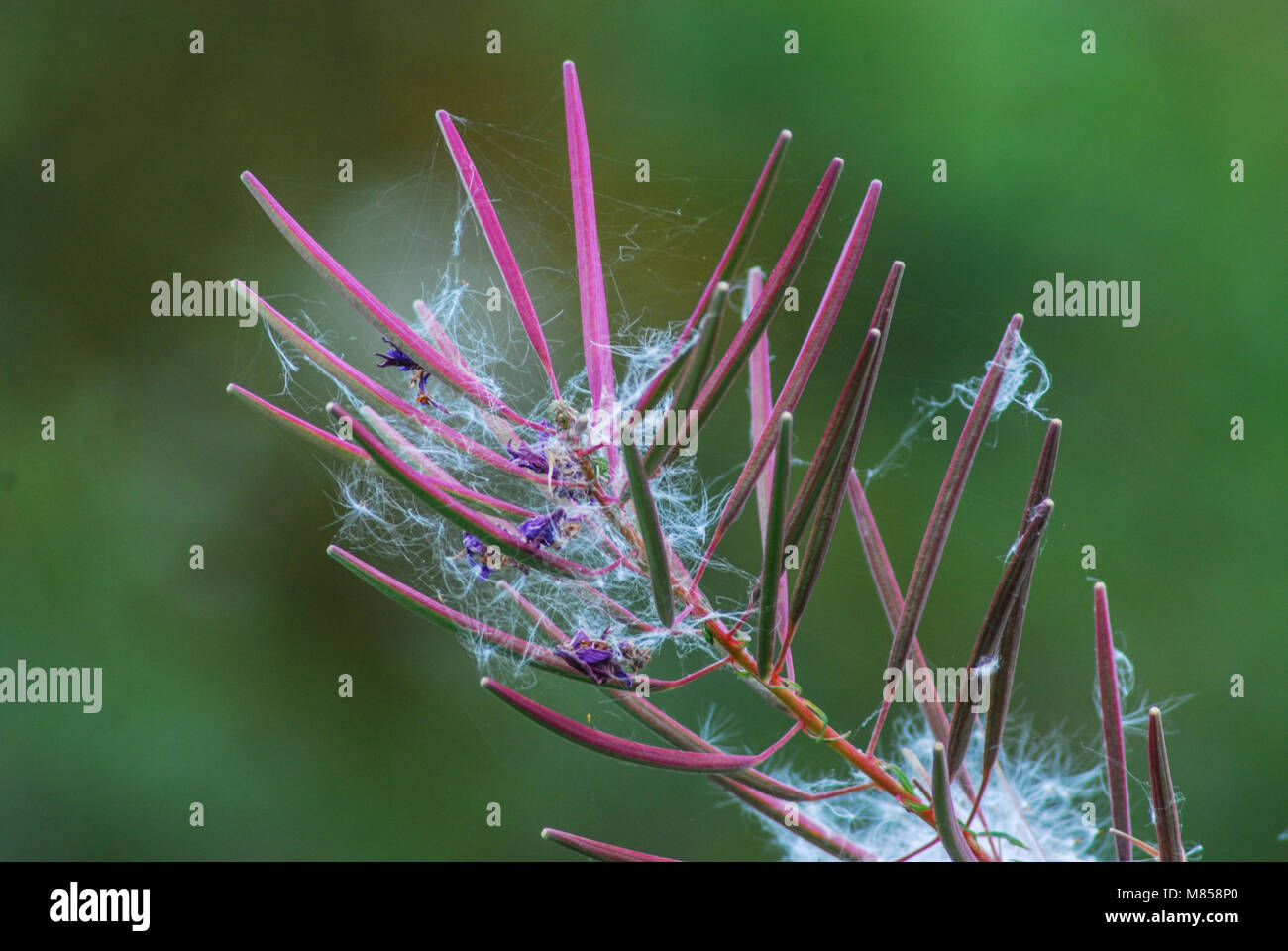 Red spiky plant that has captured dandelion fluff - Stock Image