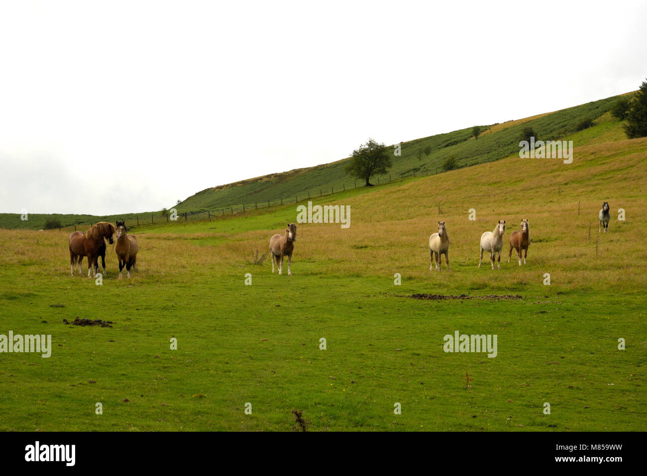 Ponies in a Welsh Hillside Field - Stock Image
