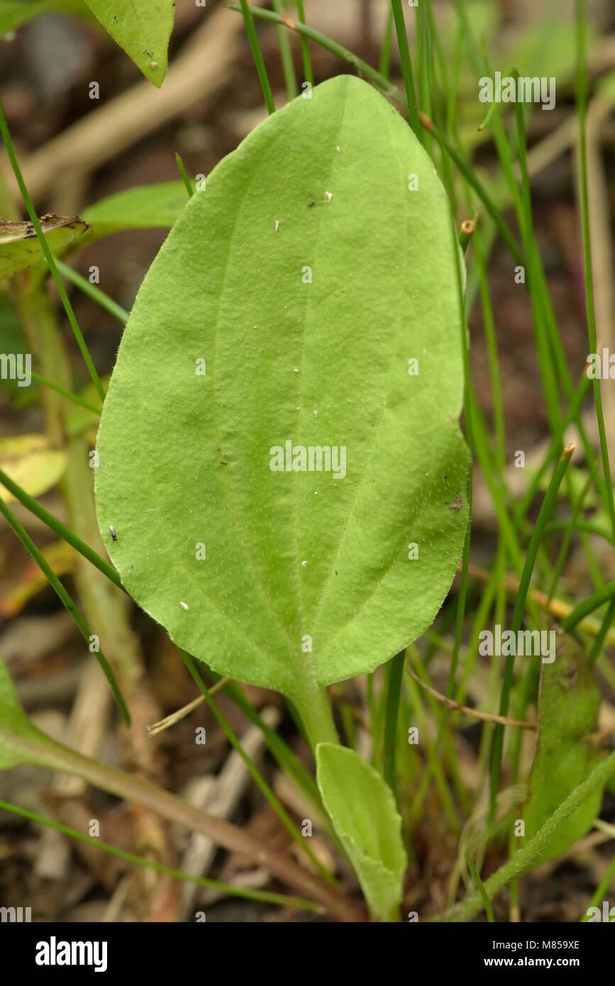 Greater Plantain (subspecies intermedia) leaf, Plantago major subspecies intermedia - Stock Image
