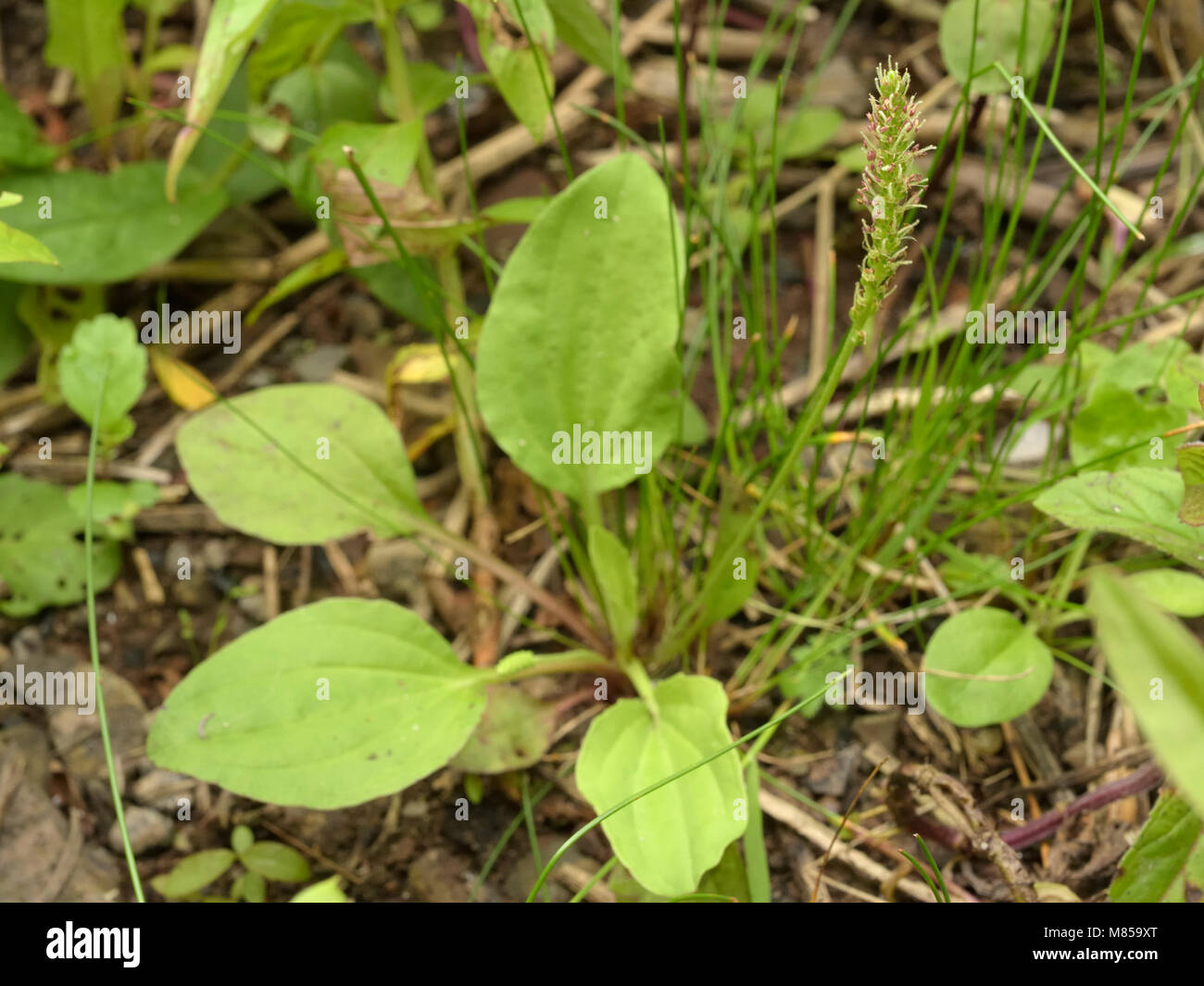 Greater Plantain (subspecies intermedia), Plantago major subspecies intermedia - Stock Image