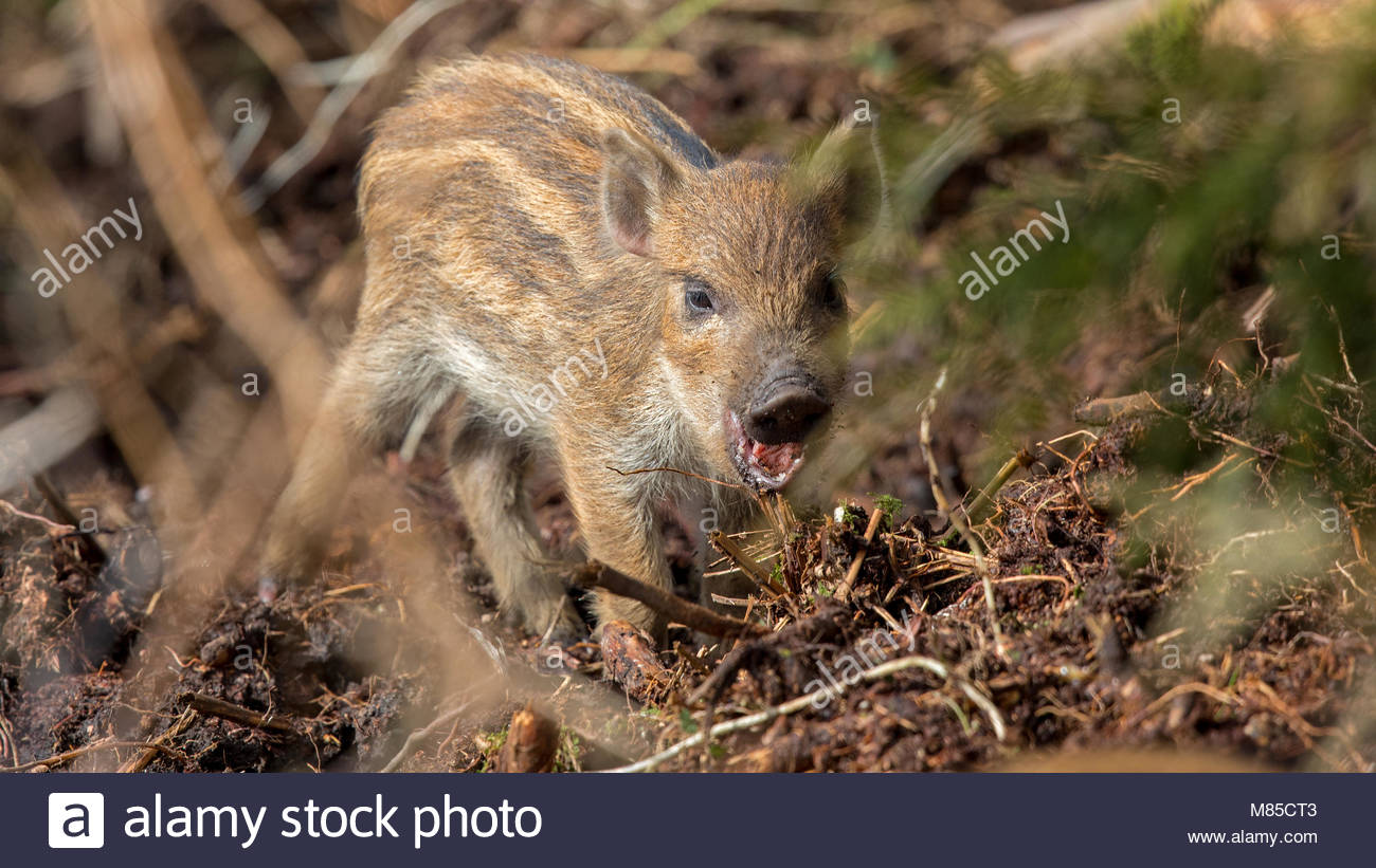 Newly born Wild Boar snarls at the photographer in the undergrowth at Staple Edge in the Forest of Dean - Stock Image