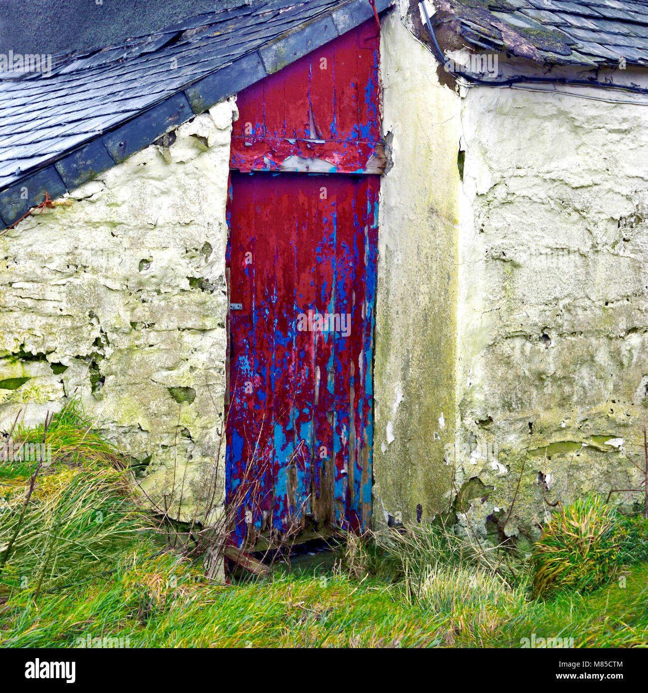 The vivid red door of a derelict farmhouse stands in sharp contrast to the surrounding green landscape of Denbigh - Stock Image