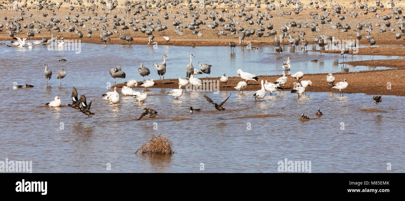 Sandhill Cranes, Snow Geese, American Wigeons and more, Whitewater Draw Wildlife Area, Southeastern Arizona - Stock Image