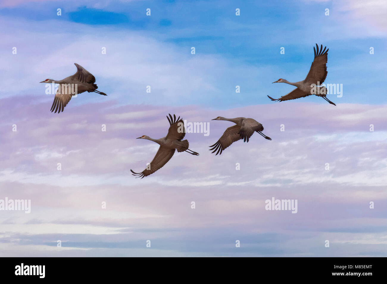 Sandhill Cranes in flight, Southern Arizona - Stock Image