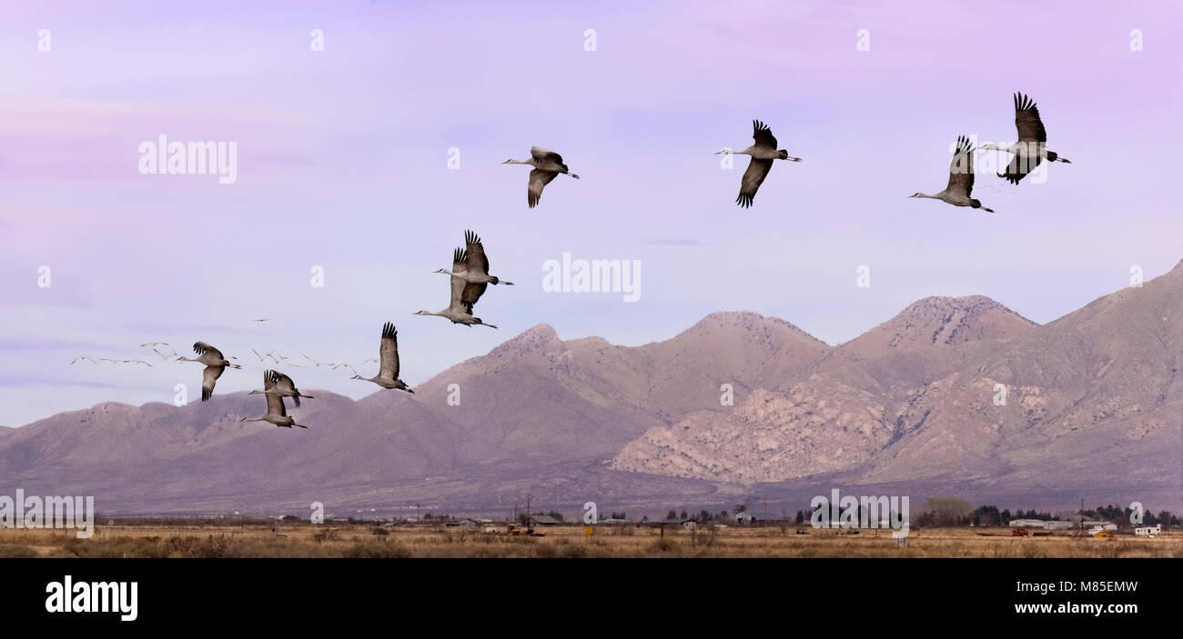Migrating Sandhill Cranes (Grus canadensis),  Whitewater Draw Wildlife Area, Southern Arizona - Stock Image