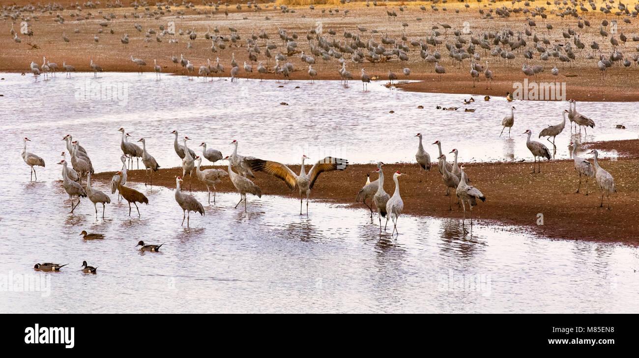 Sandhill Cranes (Grus canadensis),  Whitewater Draw Wildlife Area, Southern Arizona - Stock Image