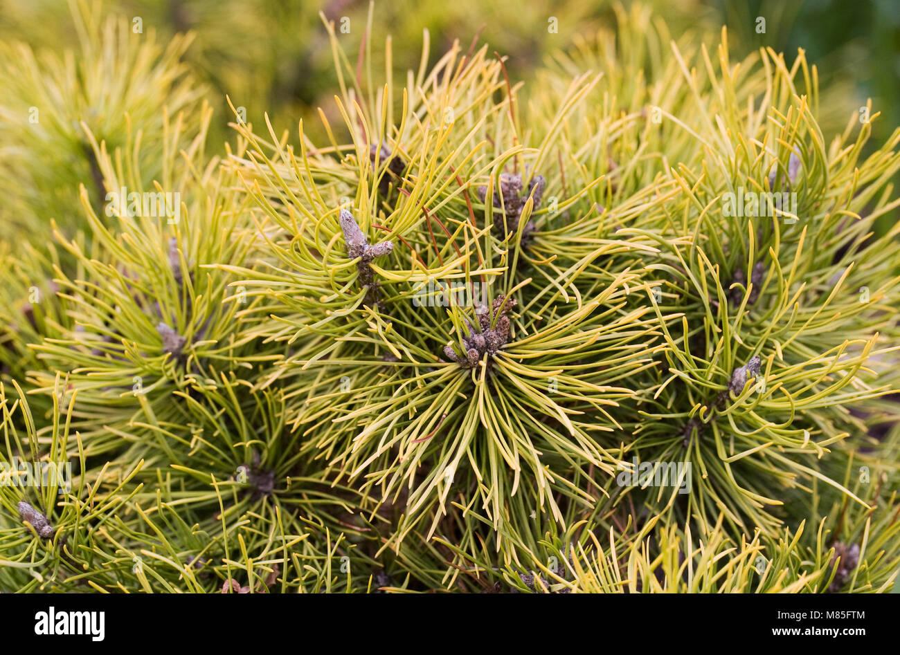 Pinus mugo 'Winter Gold' in March. - Stock Image