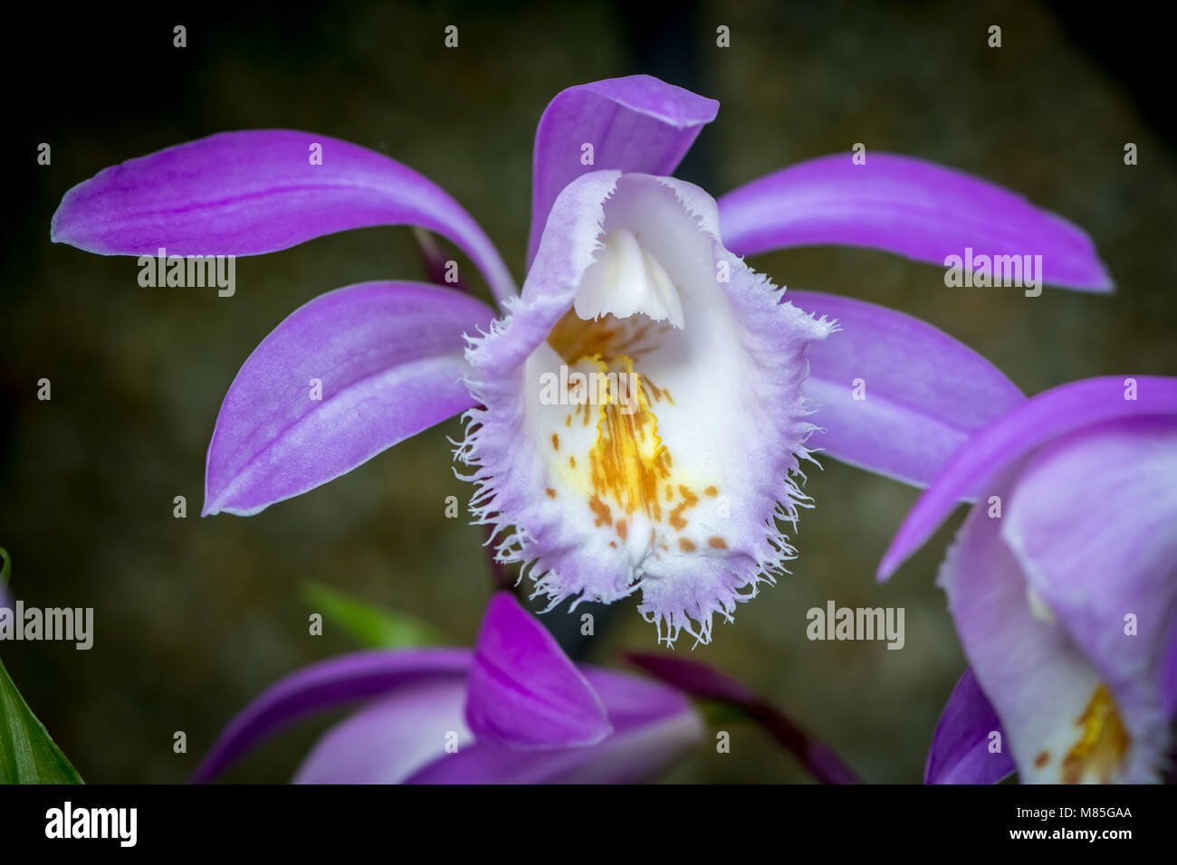 Orchid bloom (Orchidaceae) - Stock Image