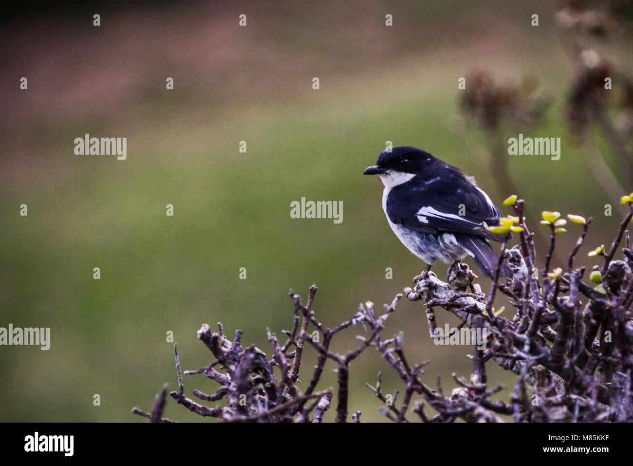 A male fiscal flycatcher (Melaenornis silens) perching on a branch - Stock Image