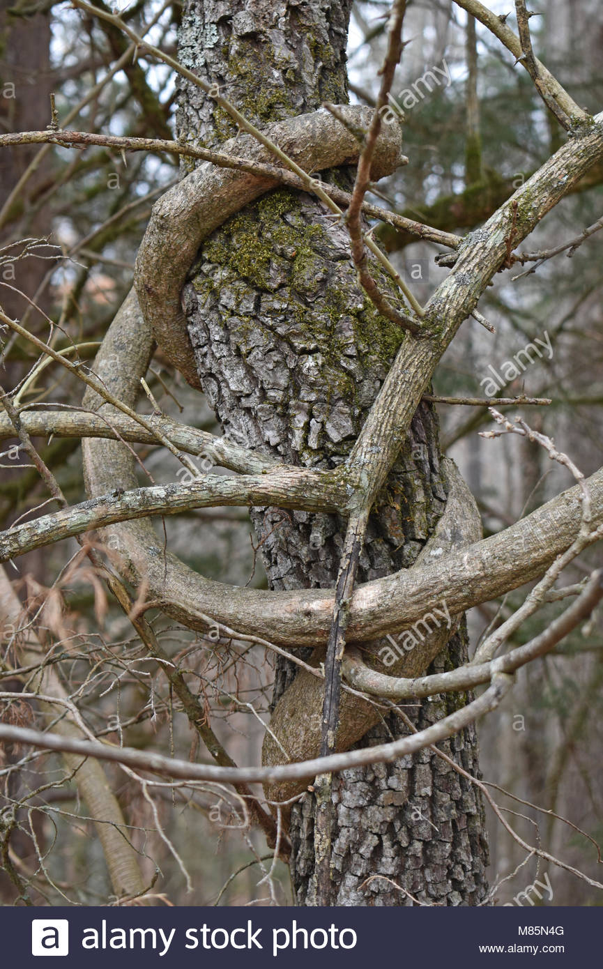 Grape vines encircle tree - Stock Image