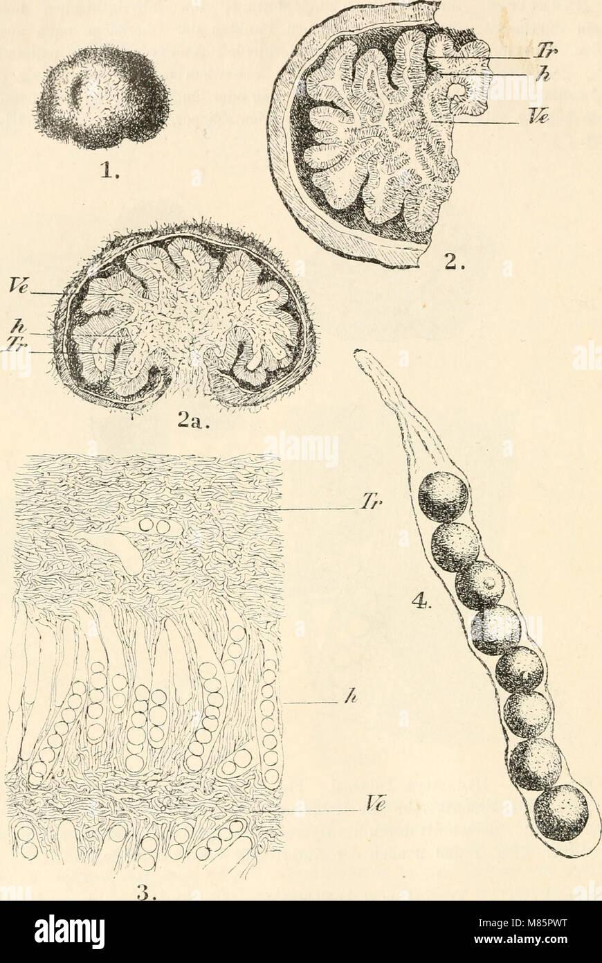 Dr. L. Rabenhorst's Kryptogamen-Flora von Deutschland, Oesterreich und der Schweiz (1897) (20915272778) Stock Photo
