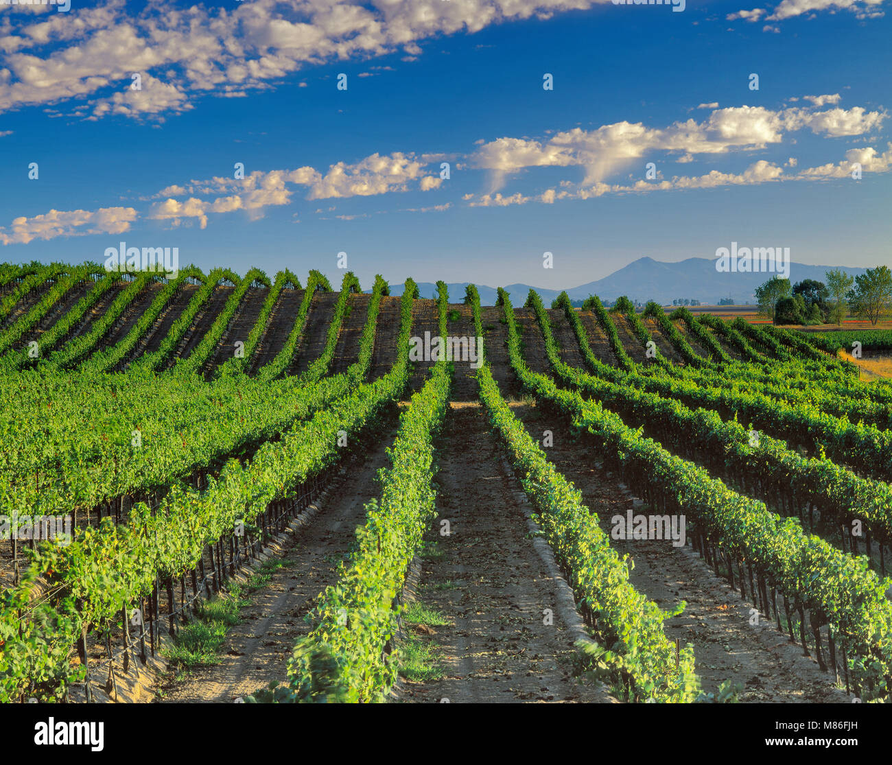 Vineyard, Carneros Appellation, Sonoma County, California - Stock Image