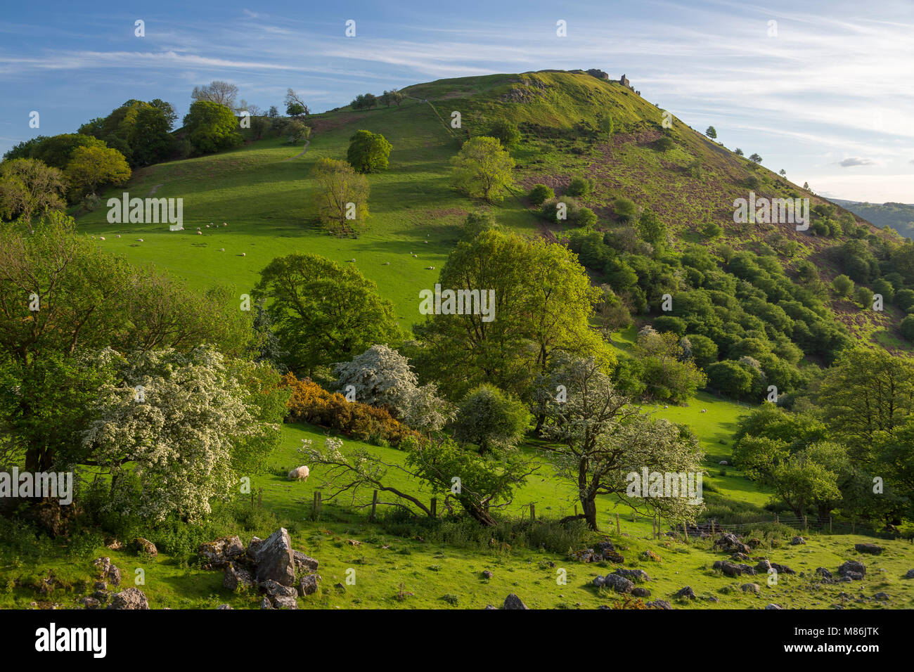 Ruins of castle Dinas Bran on a hilltop near Llangollen, Wales set in rolling pasture in spring with trees in blossom Stock Photo