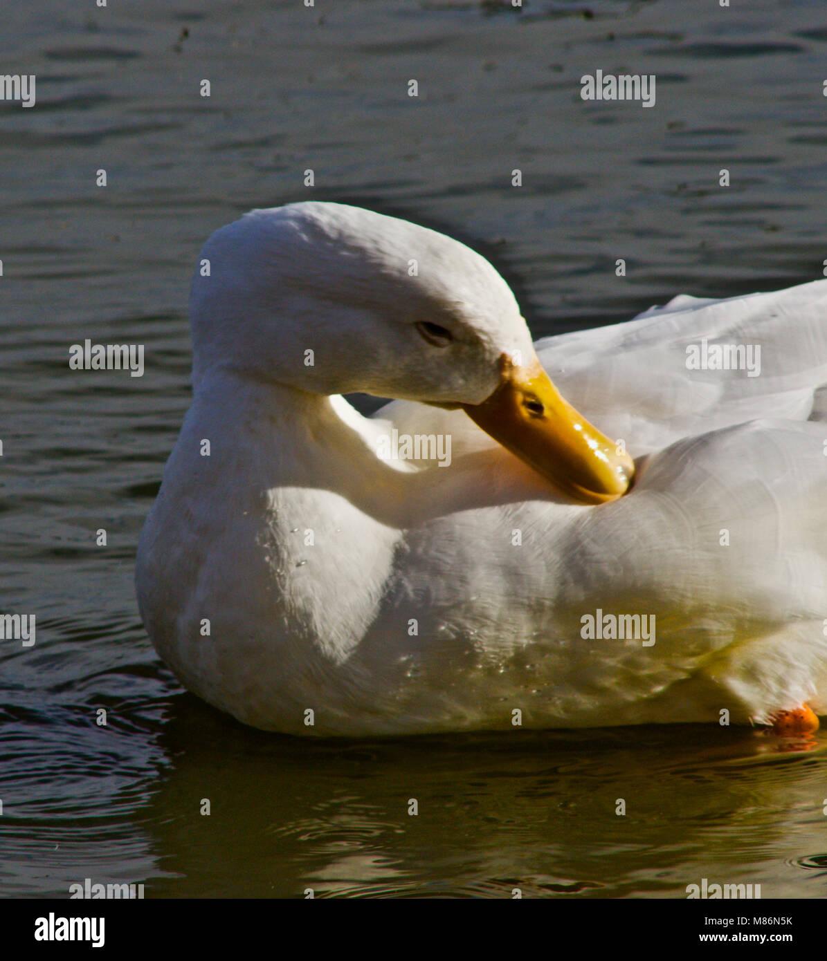 Tame Park Duck Preening - Stock Image