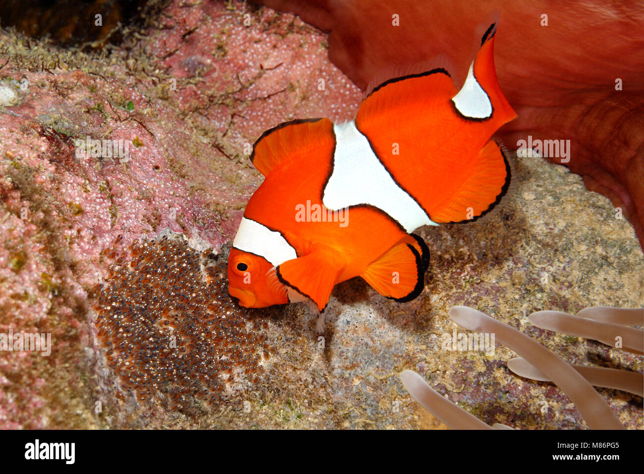 Clownfish Eggs Stock Photos & Clownfish Eggs Stock Images - Alamy