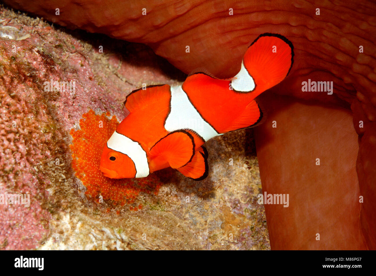 Clownfish With Eggs Stock Photos & Clownfish With Eggs Stock Images ...