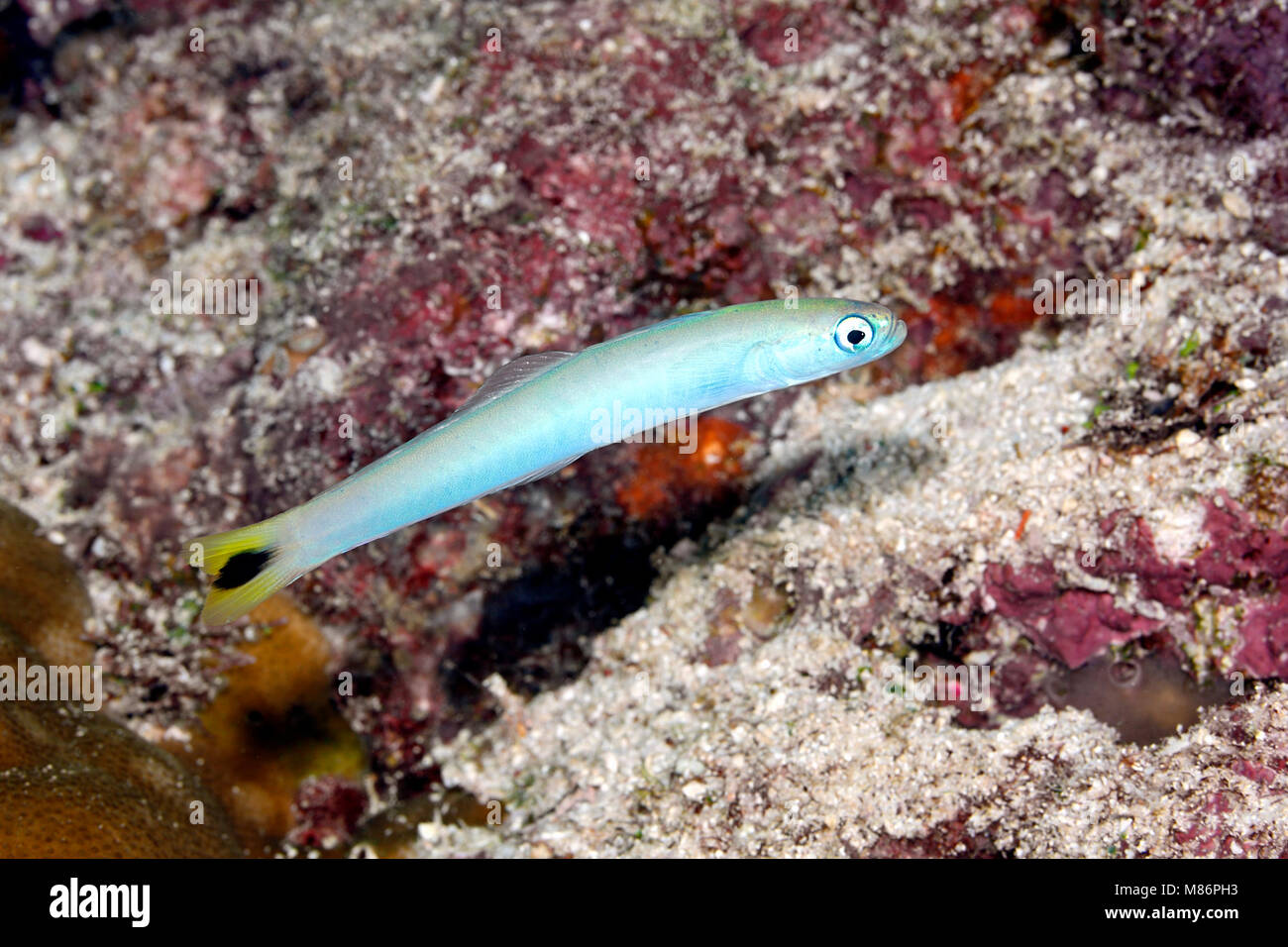 Spot-tail Dartfish, Ptereleotris heteroptera. Also known as a Tailspot Dartgoby and Blacktail Goby. - Stock Image