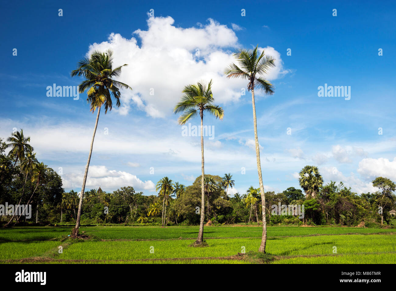 Paddy field,Avukana,North Central Province,Sri Lanka Stock Photo
